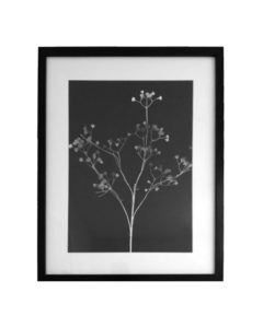 Original Unique Botanical Gypsophila Photogram Victoria Gray Design Essentials